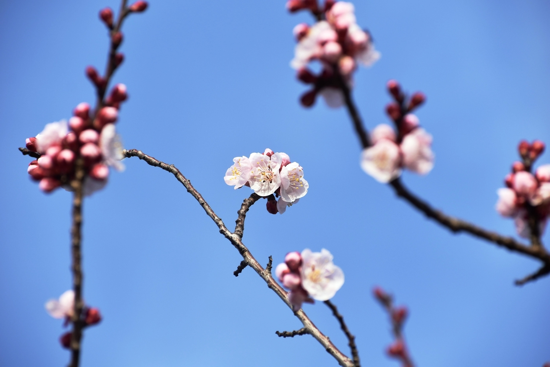 アンズ 咲きはじめ 京都府立植物園 2019年3月2日 撮影:MKタクシー