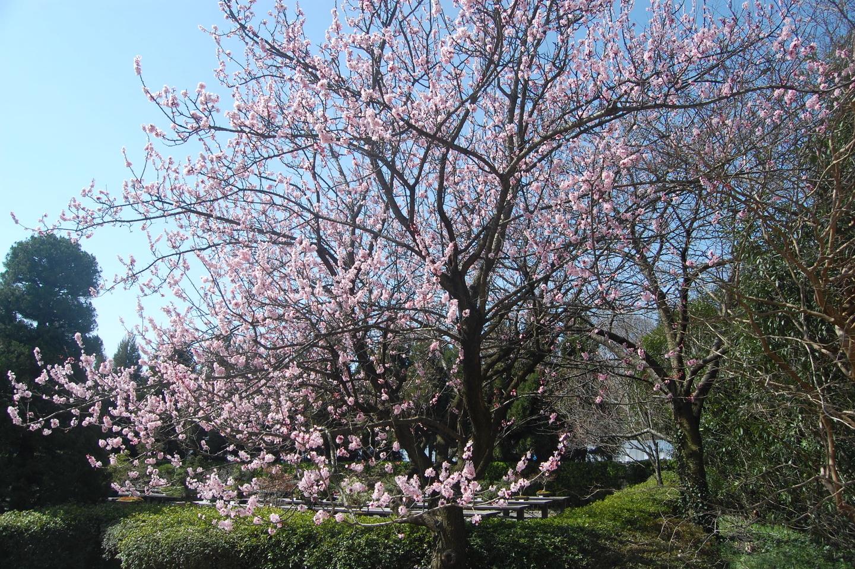 アンズ 見頃 京都府立植物園 2009年3月21日 撮影:MKタクシー