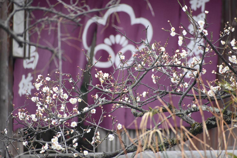 白梅(料理旅館白梅) 三分咲き 2021年2月9日 撮影:MKタクシー
