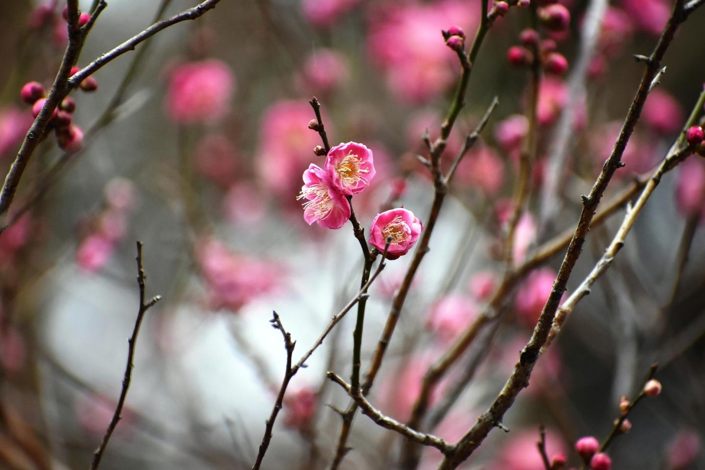 桜鏡(梅林) 咲きはじめ 2021年2月9日 撮影:MKタクシー