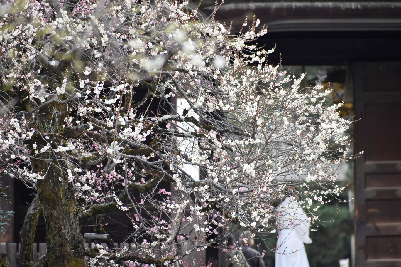 梅(宝物館前) 三分咲き 2021年2月9日 撮影:MKタクシー