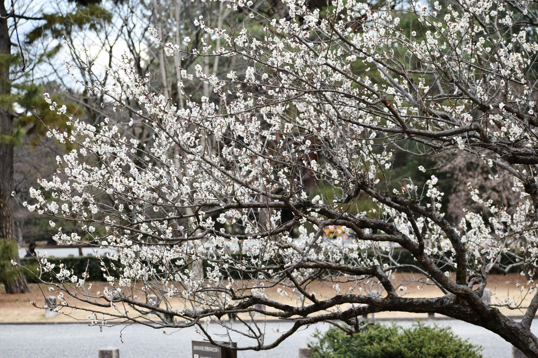 白梅(出水の小川) 五分咲き 2021年2月9日 撮影:MKタクシー