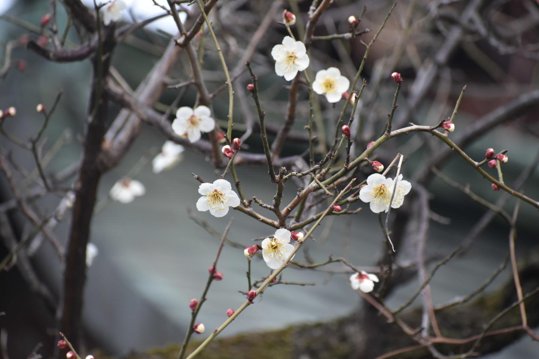 白梅(本殿横) 咲きはじめ 2021年2月9日 撮影:MKタクシー