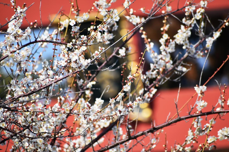 白梅(鳥居) 五分咲き 2021年2月11日 撮影:MKタクシー