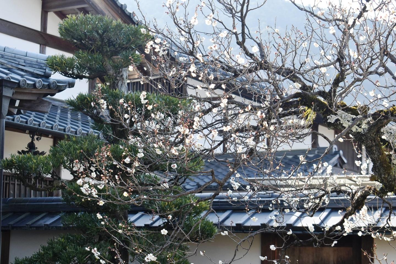 白梅(妙智院) 五分咲き 2021年2月11日 撮影:MKタクシー
