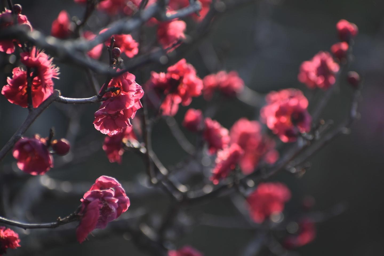 鹿児島紅(長岡公園・梅林) 咲きはじめ 2021年2月11日 撮影:MKタクシー