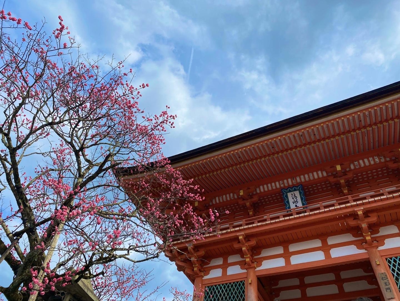 紅梅(仁王門) 三分咲き 2020年2月19日 撮影:MKタクシー