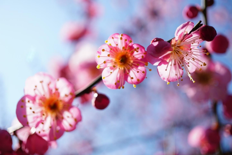 枝垂梅(春の山) 五分咲き 2020年2月11日 撮影:MKタクシー