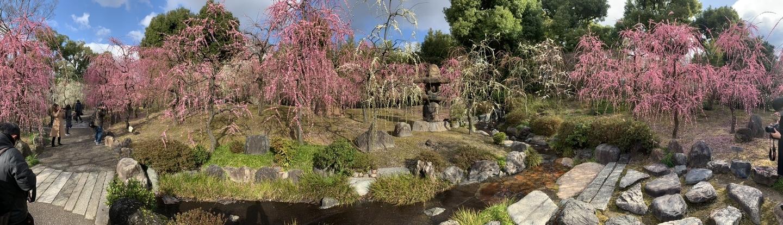 枝垂梅(春の山) 五分咲き 2020年2月17日 撮影:MKタクシー
