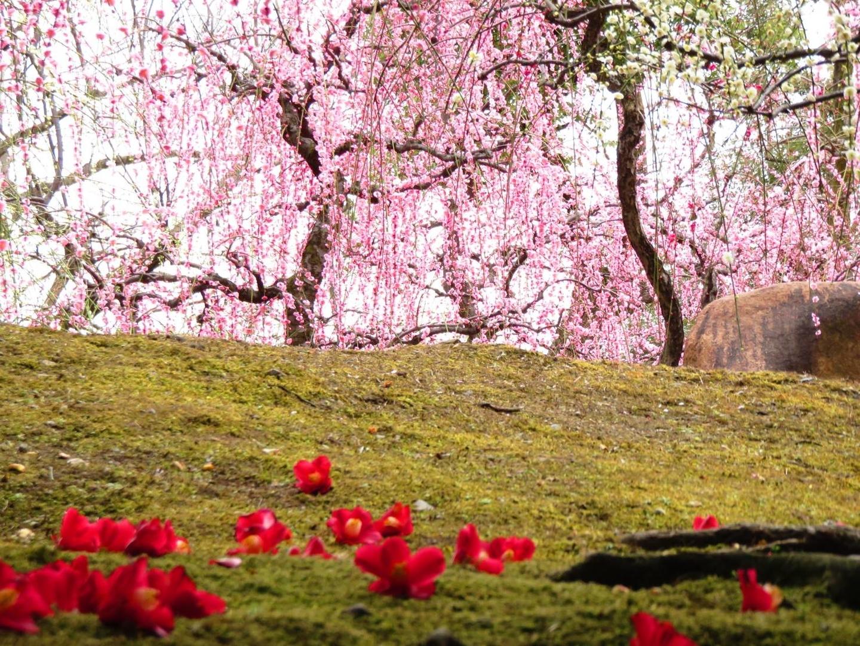 枝垂梅と椿(春の山) 見頃 2019年2月27日 撮影:MKタクシー