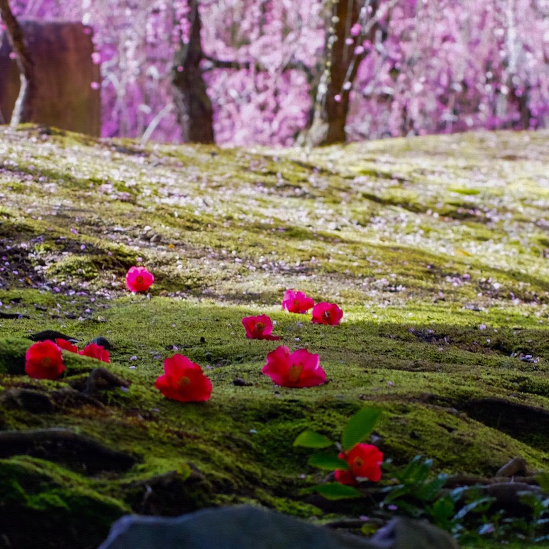 枝垂梅と椿(春の山) 五分咲き 2020年2月17日 撮影:MKタクシー