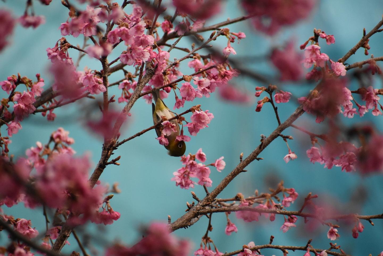 淀水路の早咲きの正月桜 見頃 2021年2月11日 撮影:MKタクシー