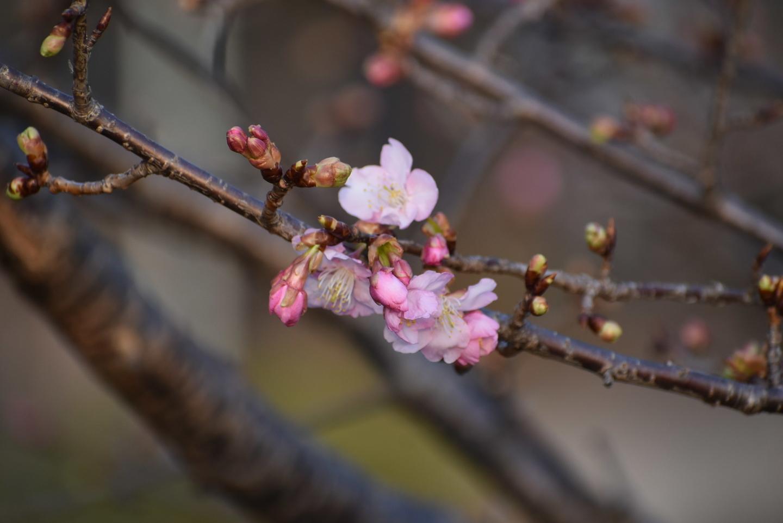 淀城 咲きはじめ 2021年2月11日 撮影:MKタクシー