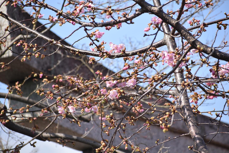 車折神社 咲きはじめ 2021年2月11日 撮影:MKタクシー