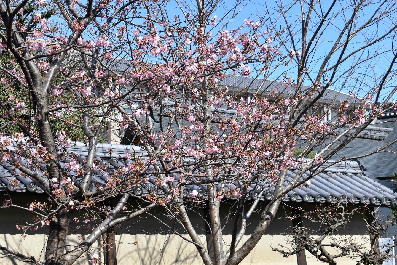 東寺 三分咲き 2020年2月21日 撮影:MKタクシー