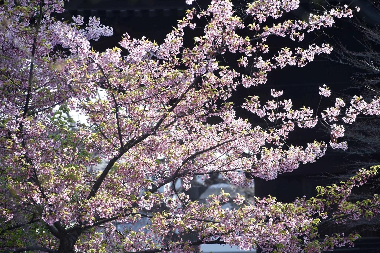 東寺(五重塔前) 散りはじめ 2019年3月26日(平年3月28日相当) 撮影:MKタクシー