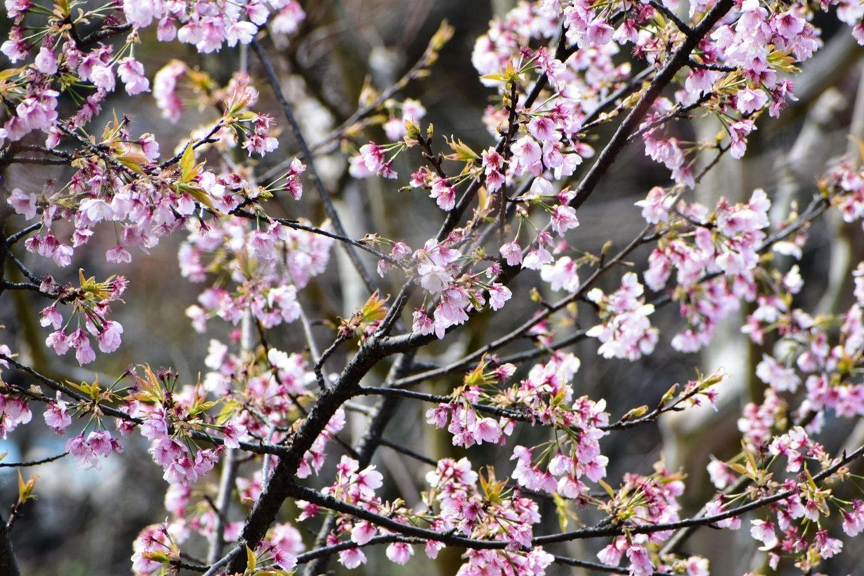 宇治市植物公園 終わり近し 2020年3月20日 撮影:MKタクシー