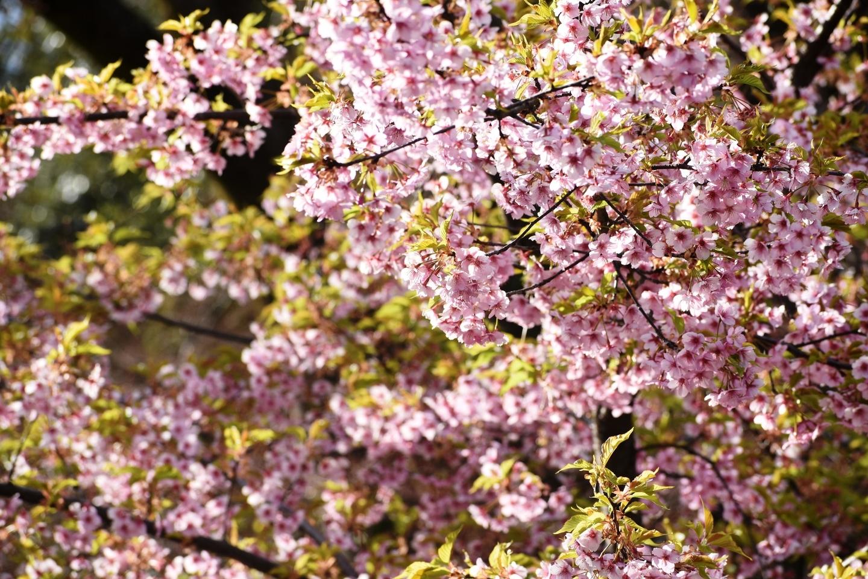 京都府立植物園 見頃 2019年3月24日(平年3月27日相当) 撮影:MKタクシー