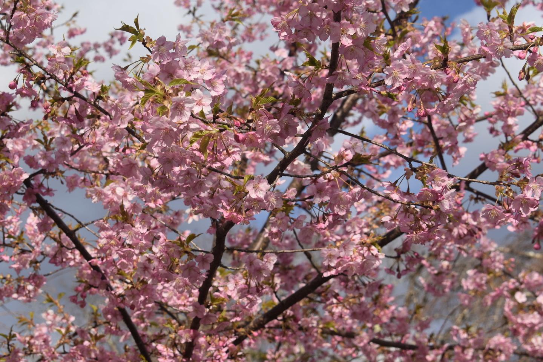 京都府立植物園 見頃 2019年3月16日(平年3月21日相当) 撮影:MKタクシー