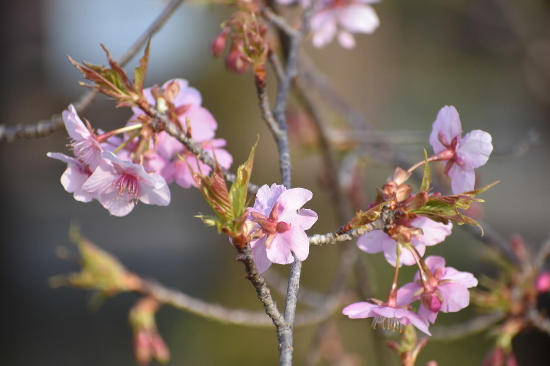京都府立植物園 咲きはじめ 2019年3月2日(平年3月7日相当) 撮影:MKタクシー