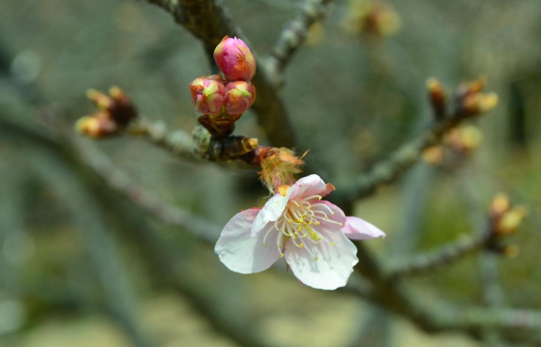 宇治市植物公園 咲きはじめ 2018年2月25日(平年2月24日相当) 撮影:MKタクシー