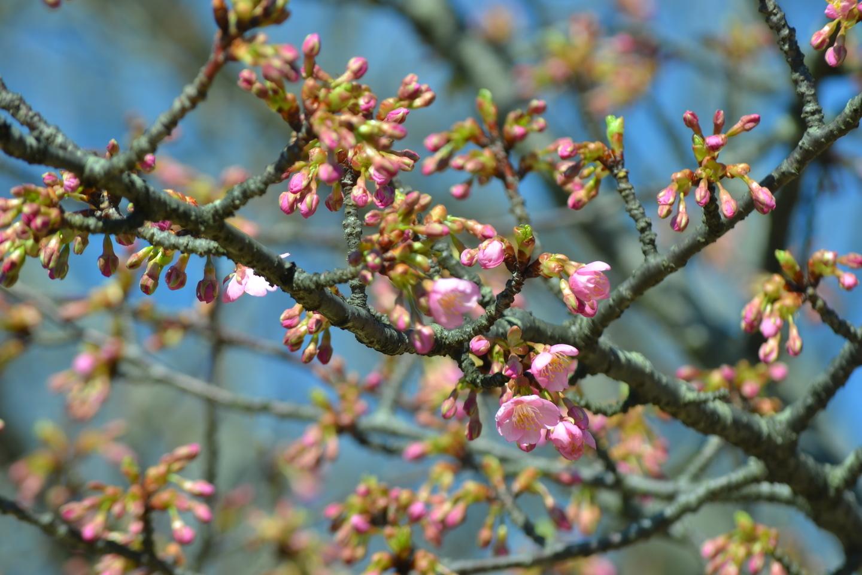 宇治市植物公園 咲きはじめ 2018年3月10日(平年3月7日相当) 撮影:MKタクシー