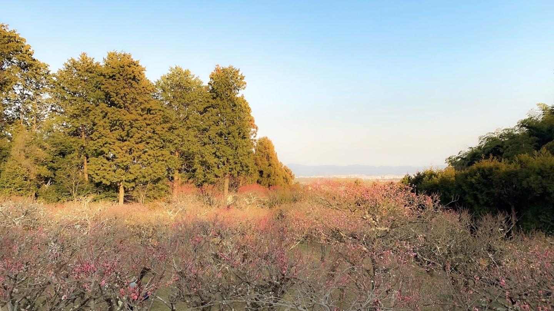 紅梅(梅林) 三分咲き 2021年2月20日 撮影:MKタクシー