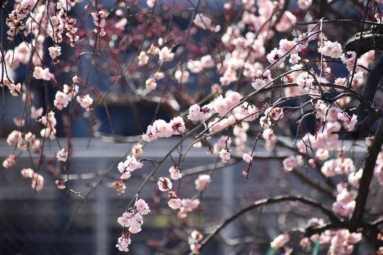 藤牡丹枝垂(梅林) 五分咲き 2021年2月22日 撮影:MKタクシー