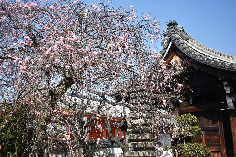 枝垂梅(十三重石塔前) 五分咲き 2021年2月22日 撮影:MKタクシー
