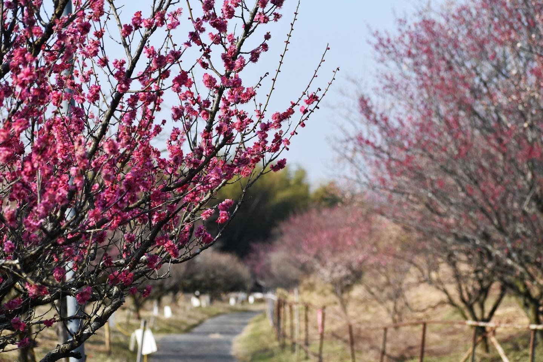 紅梅(梅まつり会場付近) 五分咲き 2021年2月21日 撮影:MKタクシー