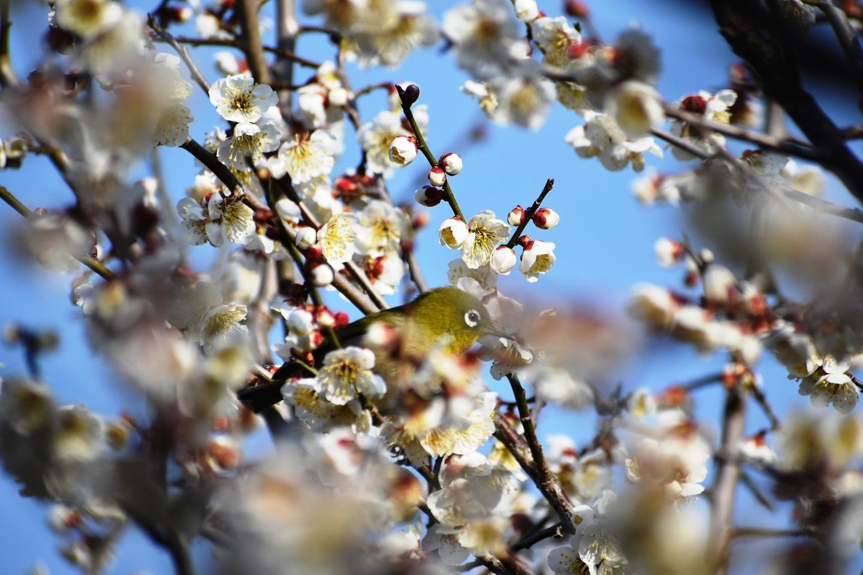 城州白とメジロ(堂山) 五分咲き 2021年2月21日 撮影:MKタクシー