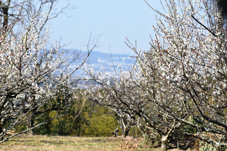 城州白(堂山) 五分咲き 2021年2月21日 撮影:MKタクシー