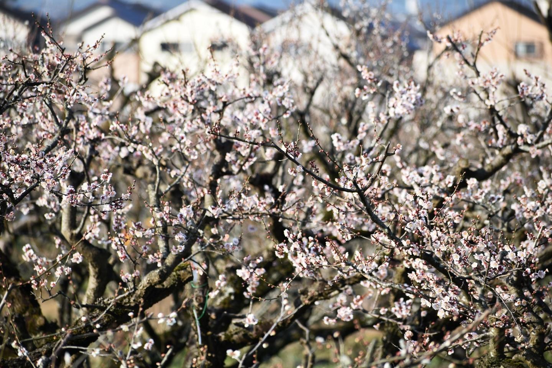 白梅(市辺梅林) 三分咲き 2021年2月21日