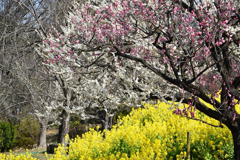 梅と菜の花(春のゾーン) 五分咲き 2021年2月21日 撮影:MKタクシー