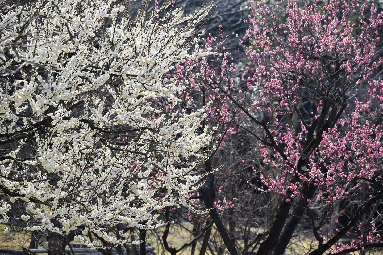 梅(春のゾーン) 五分咲き 2021年2月21日 撮影:MKタクシー