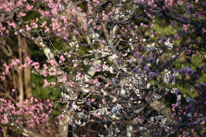 南高(長岡公園・梅林) 三分咲き 2021年2月21日 撮影:MKタクシー