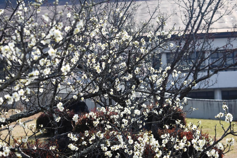 白梅(城陽市市民体育館) 五分咲き 2021年2月21日 撮影:MKタクシー