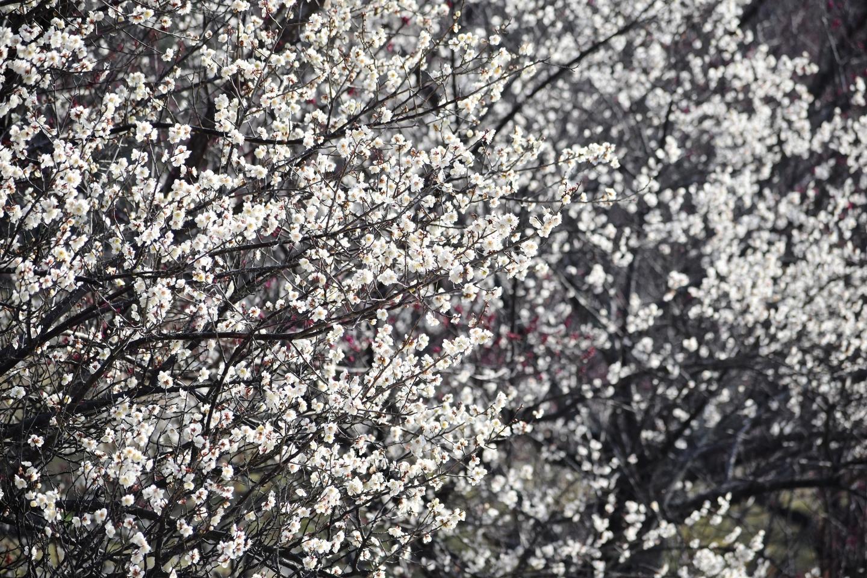 白梅 五分咲き 2021年2月21日 撮影:MKタクシー
