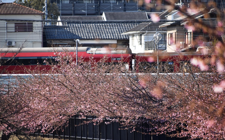 河津桜と京阪8000系 2021年2月21日 撮影:MKタクシー