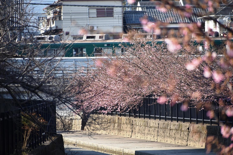 河津桜と回送車両 2021年2月21日 撮影:MKタクシー