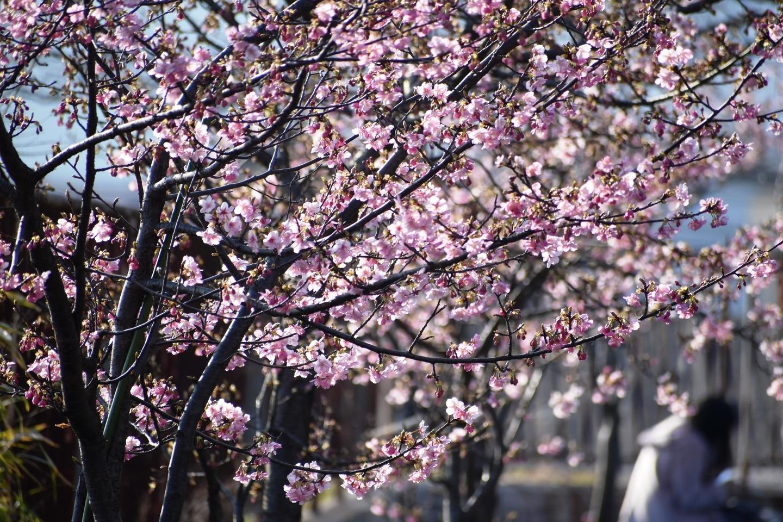 淀城の河津桜 三分咲き 2021年2月21日 撮影:MKタクシー