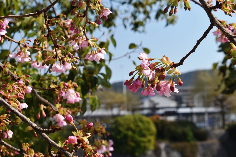 三条大橋西詰の河津桜 咲きはじめ 2021年2月20日 撮影:MKタクシー