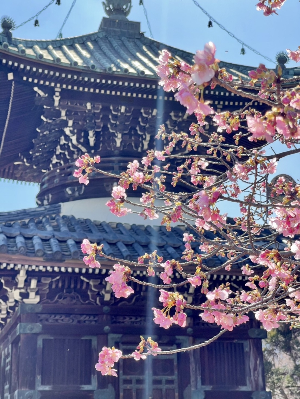 清凉寺の河津桜(多宝塔前) 三分咲き 2021年2月22日 撮影:MKタクシー