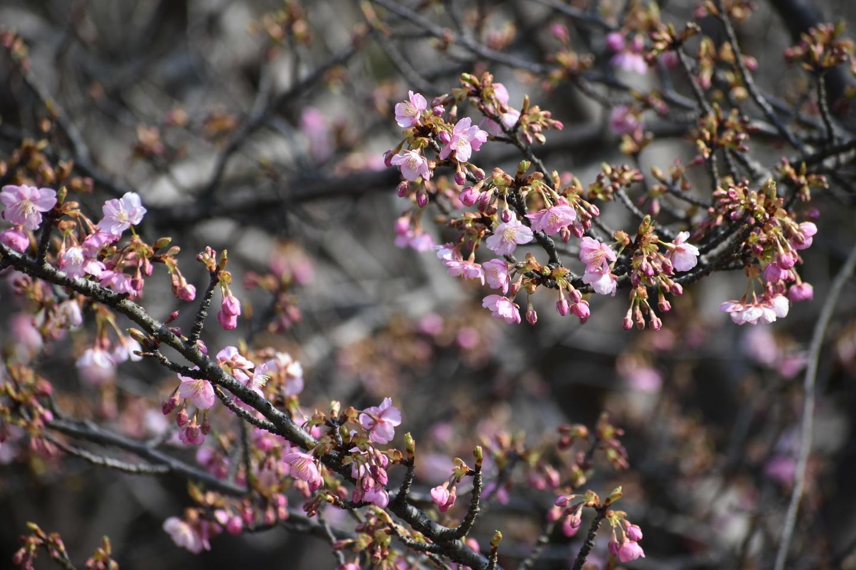 宇治市植物公園の河津桜 三分咲き 2021年2月21日 撮影:MKタクシー