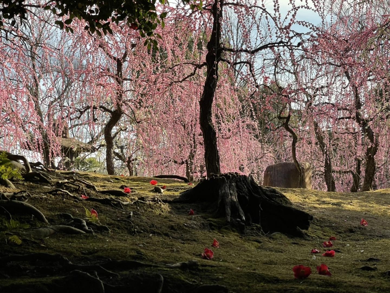 枝垂梅(春の山) 見頃 2021年2月24日 撮影:MKタクシー