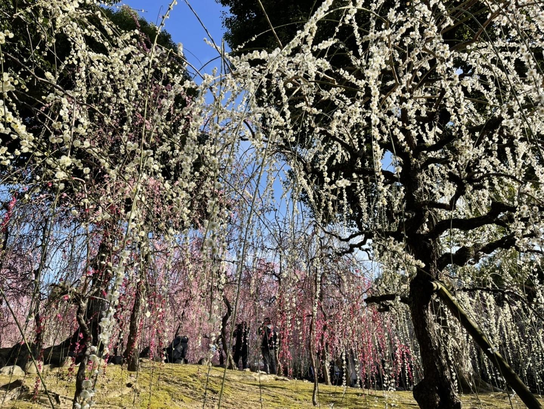 枝垂梅(春の山) 見頃 2020年2月24日 撮影:MKタクシー