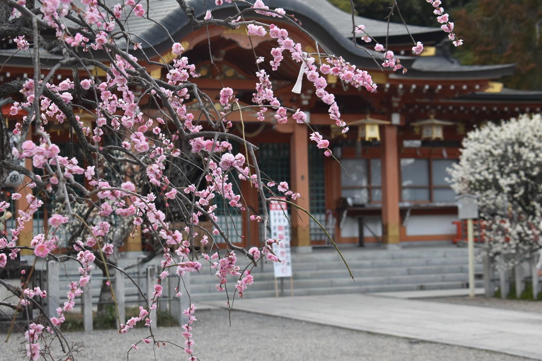 枝垂梅(本殿前) 見頃 2021年2月25日 撮影:MKタクシー