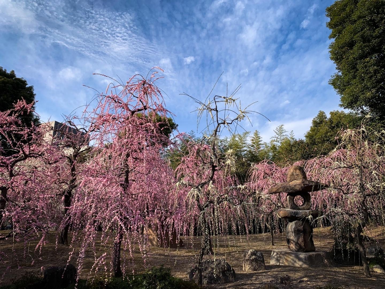 枝垂梅(春の山) 見頃 2021年2月25日 撮影:MKタクシー