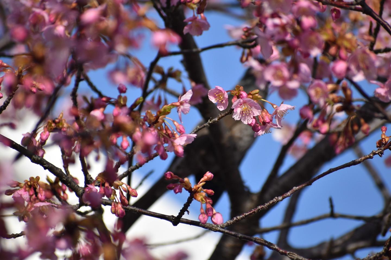 河津桜とヒヨドリ(鐘楼横) 五分咲き 2021年3月1日 撮影:MKタクシー