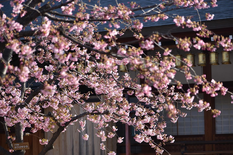 河津桜(鐘楼横) 五分咲き 2021年3月1日 撮影:MKタクシー